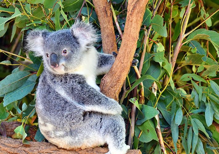 パースの動物園へ行こう。コアラやカンガルーに会えるおすすめはココ! エアトリ